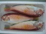 甘鯛 3kg