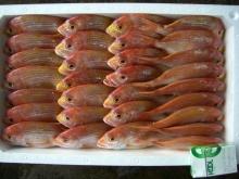 レンコ鯛 4段