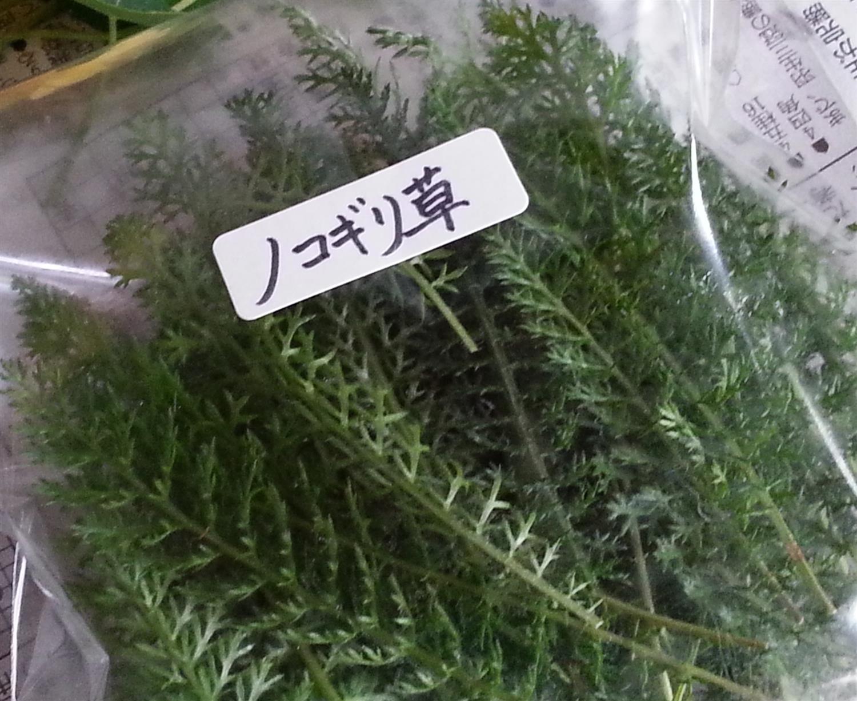 ノコギリ草(ヤロウ)
